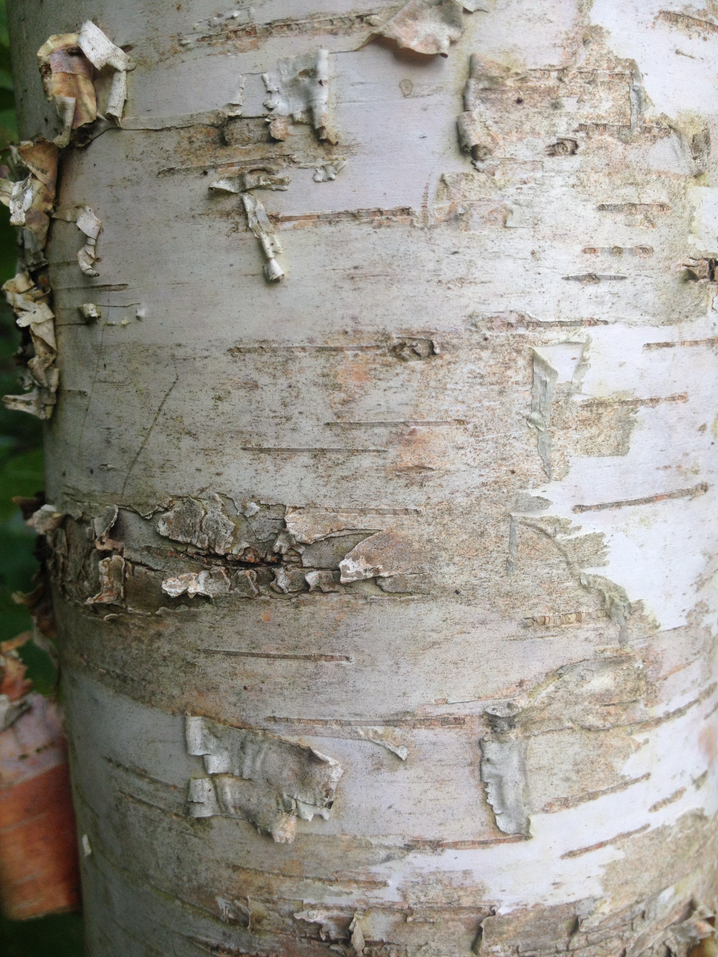Birch tree trunk - closeup of bark